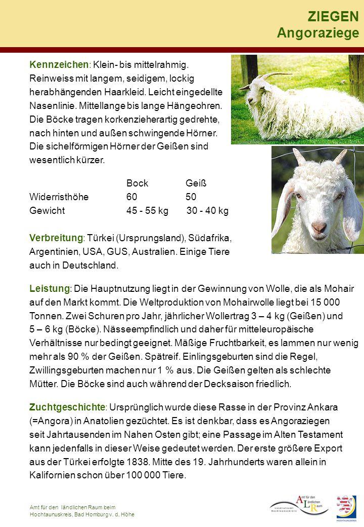 Kennzeichen: Die Thüringer Wald Ziege ist mittelgroß, es gibt sowohl kräftige, als auch feingliedrige Typen – gehornt und ungehornt.
