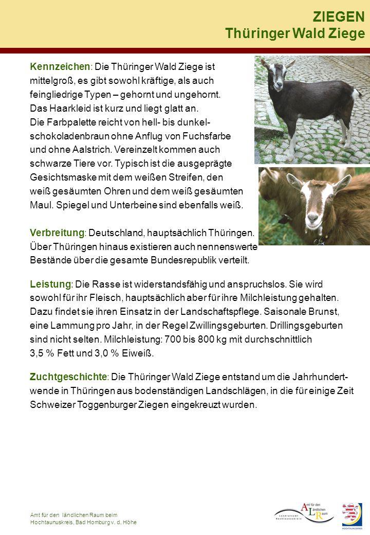 Kennzeichen: Die Thüringer Wald Ziege ist mittelgroß, es gibt sowohl kräftige, als auch feingliedrige Typen – gehornt und ungehornt. Das Haarkleid ist