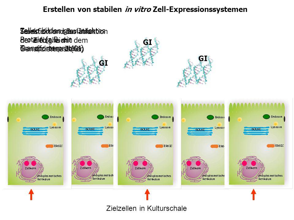 Erstellen von stabilen in vitro Zell-Expressionssystemen Transfektion oder Infektion der Zielzelle mit dem Gen of interest (GI) Zielzellen in Kultursc