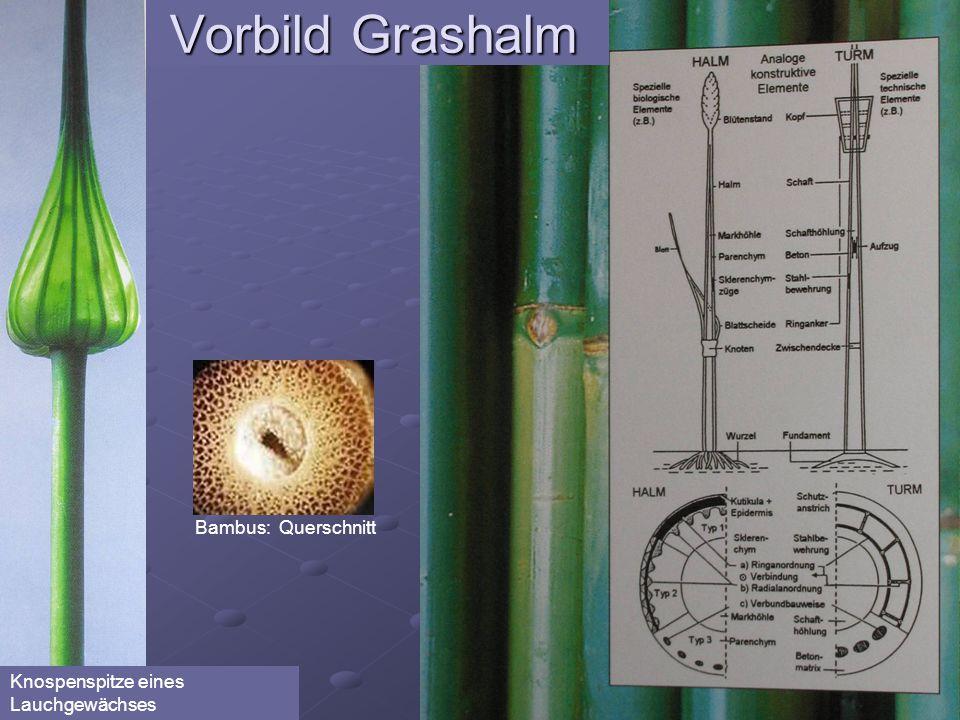 Bambus: Querschnitt Vorbild Grashalm Knospenspitze eines Lauchgewächses