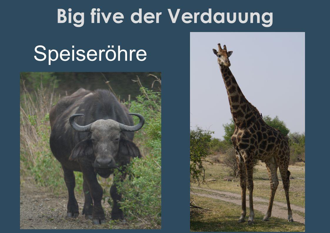 Big five der Verdauung Speiseröhre