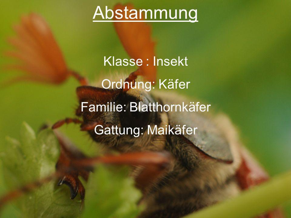 Abstammung Klasse : Insekt Ordnung: Käfer Familie: Blatthornkäfer Gattung: Maikäfer