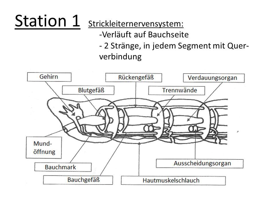 Station 2 Die Muskulatur des Regenwurms -Hautmuskelschlauch - Muskeln wirken gegeneinander - ziehen sich die Ringmuskulatur zusammen, werden die Segment LANG und DÜNN; die Längsmuskulatur ist schlaff - ziehen sich die LÄNGSMUSKULATUR zusammen, werden die Segmente kurz und dick; Ringmuskulatur ist schlaff