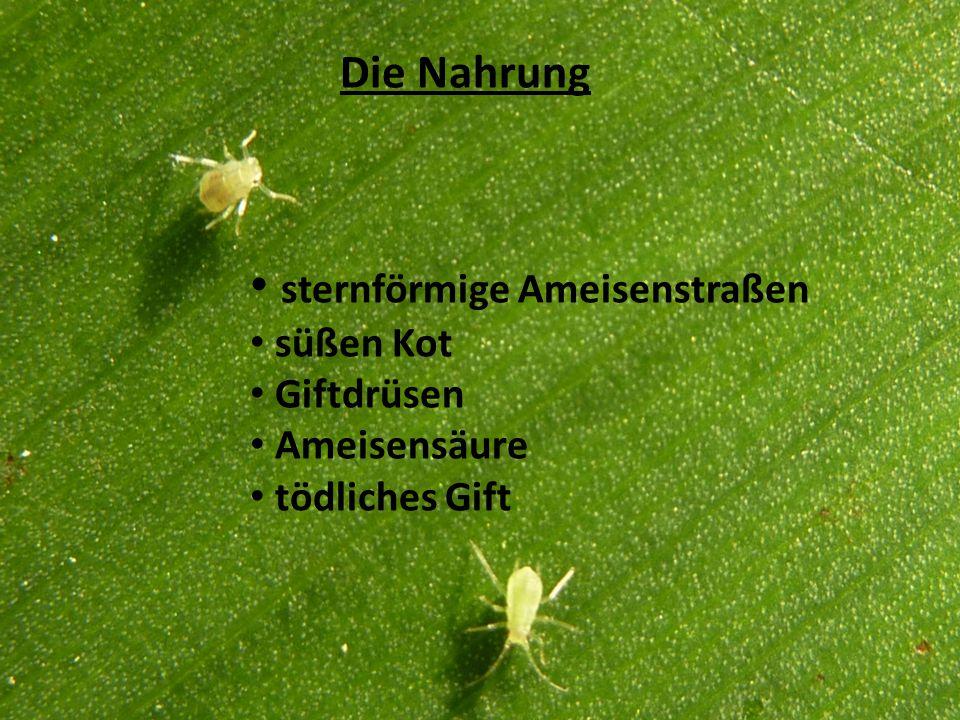 Die Nahrung sternförmige Ameisenstraßen süßen Kot Giftdrüsen Ameisensäure tödliches Gift