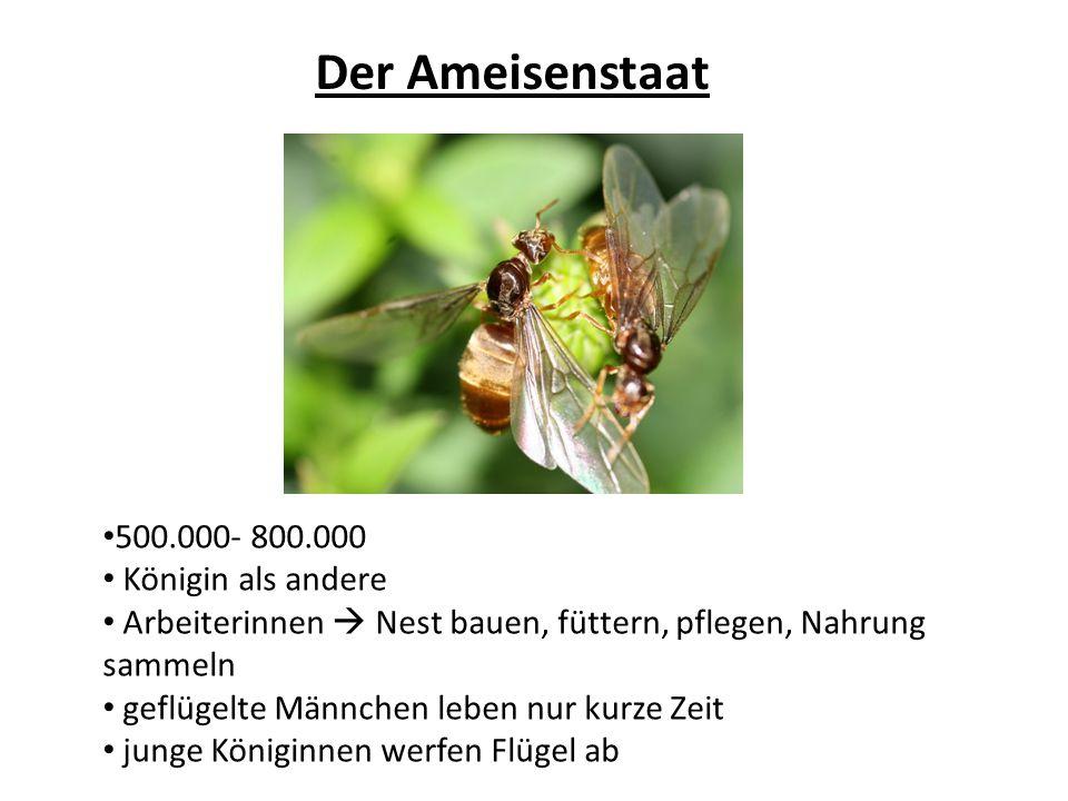 Der Ameisenstaat 500.000- 800.000 Königin als andere Arbeiterinnen Nest bauen, füttern, pflegen, Nahrung sammeln geflügelte Männchen leben nur kurze Z