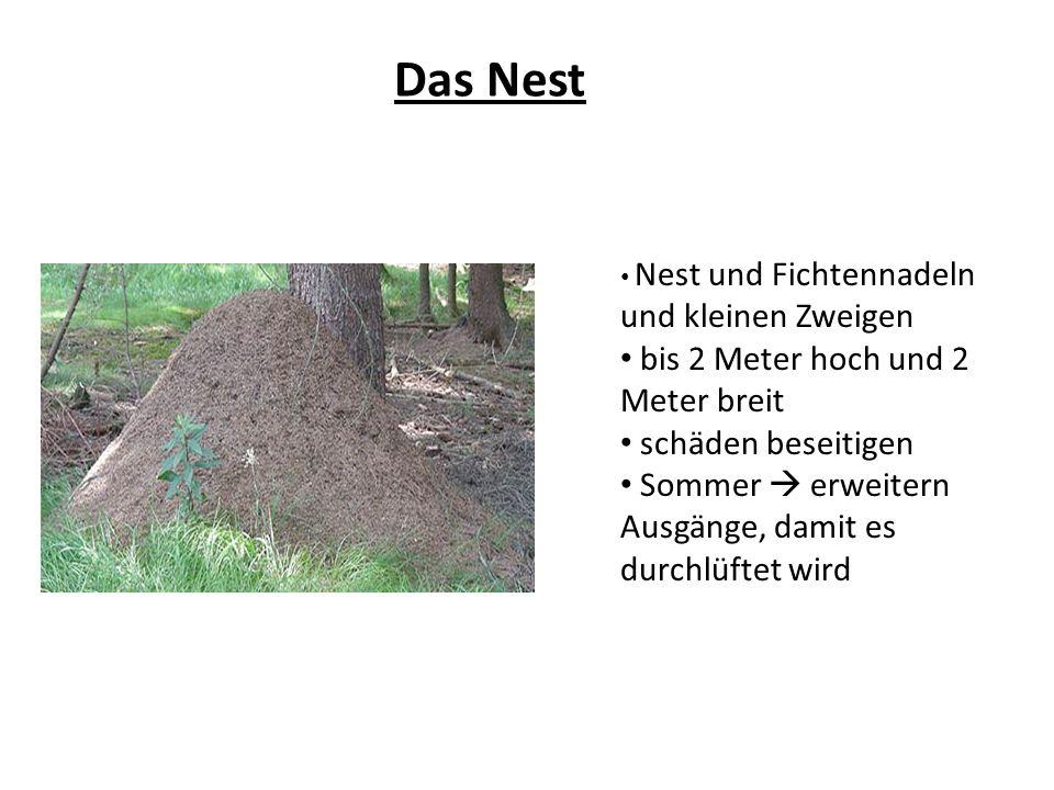 Das Nest Nest und Fichtennadeln und kleinen Zweigen bis 2 Meter hoch und 2 Meter breit schäden beseitigen Sommer erweitern Ausgänge, damit es durchlüf