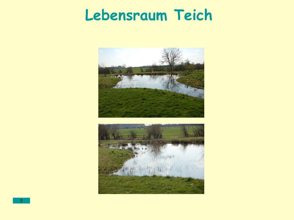Lebensraum Teich