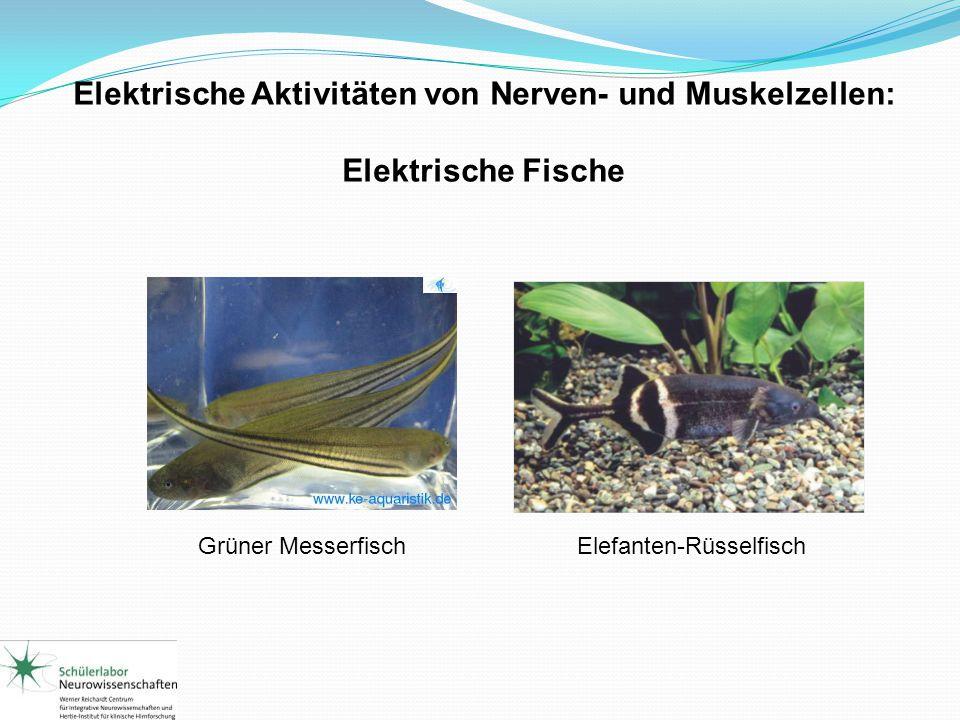 Elektrische Aktivitäten von Nerven- und Muskelzellen: Elektrische Fische Grüner MesserfischElefanten-Rüsselfisch
