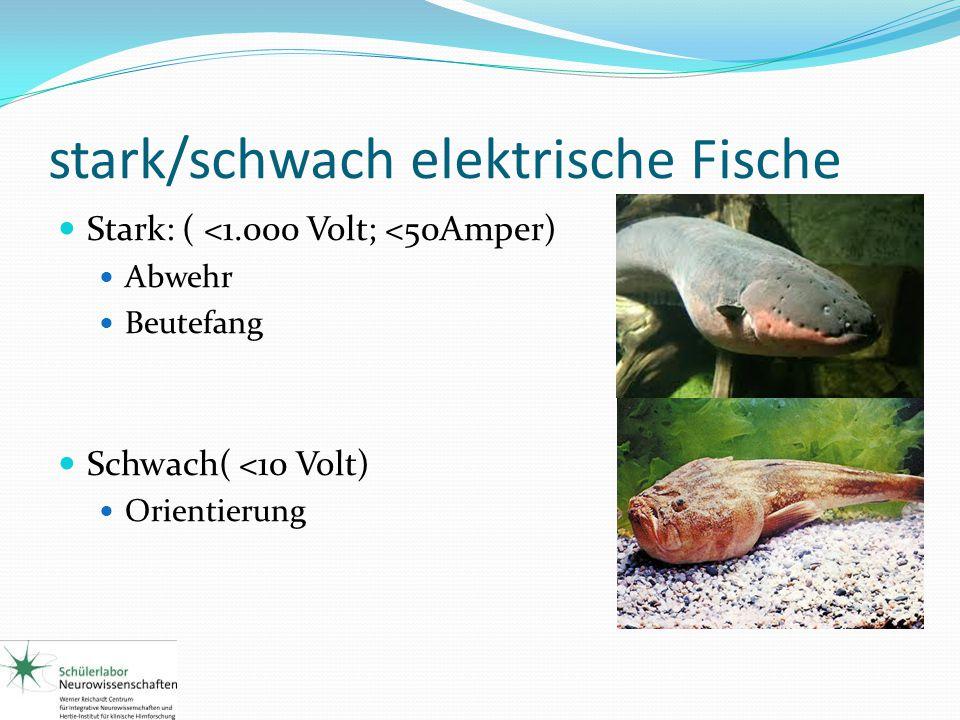 stark/schwach elektrische Fische Stark: ( <1.000 Volt; <50Amper) Abwehr Beutefang Schwach( <10 Volt) Orientierung