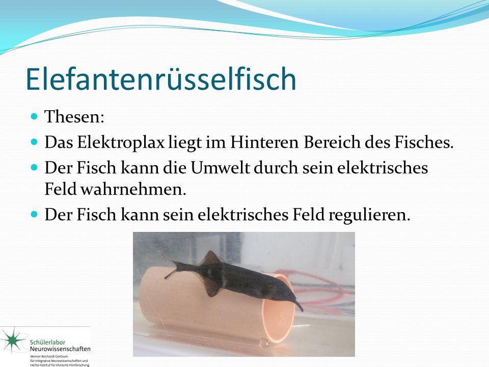 Elefantenrüsselfisch Thesen: Das Elektroplax liegt im Hinteren Bereich des Fisches. Der Fisch kann die Umwelt durch sein elektrisches Feld wahrnehmen.