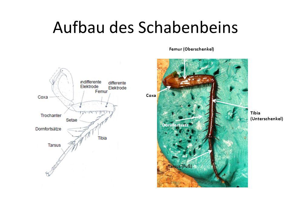 Aufbau des Schabenbeins Femur (Oberschenkel) Tibia (Unterschenkel) Tarsus (Fuß) Coxa Dornfortsatz