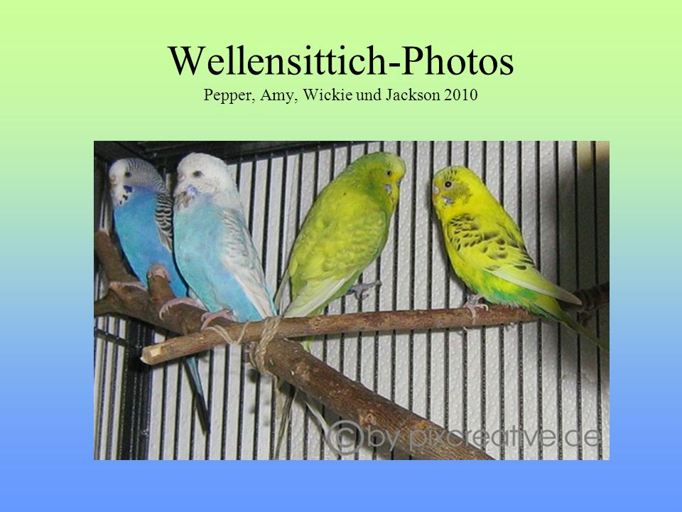 Wellensittich-Photos Pepper, Amy, Wickie und Jackson 2010