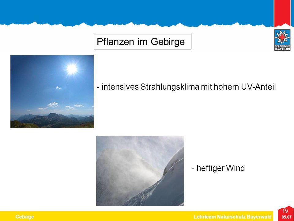 19 05.07 GebirgeLehrteam Naturschutz Bayerwald Pflanzen im Gebirge - intensives Strahlungsklima mit hohem UV-Anteil - heftiger Wind