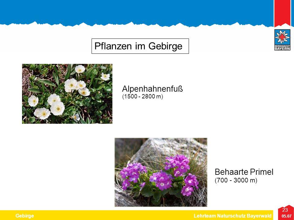 23 05.07 GebirgeLehrteam Naturschutz Bayerwald Pflanzen im Gebirge Behaarte Primel (700 - 3000 m) Alpenhahnenfuß (1500 - 2800 m)