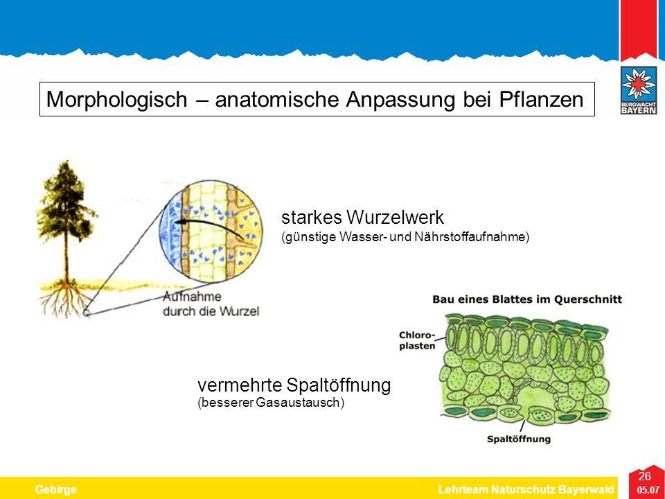 26 05.07 GebirgeLehrteam Naturschutz Bayerwald Morphologisch – anatomische Anpassung bei Pflanzen starkes Wurzelwerk (günstige Wasser- und Nährstoffau