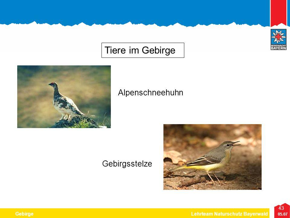43 05.07 GebirgeLehrteam Naturschutz Bayerwald Tiere im Gebirge Alpenschneehuhn Gebirgsstelze