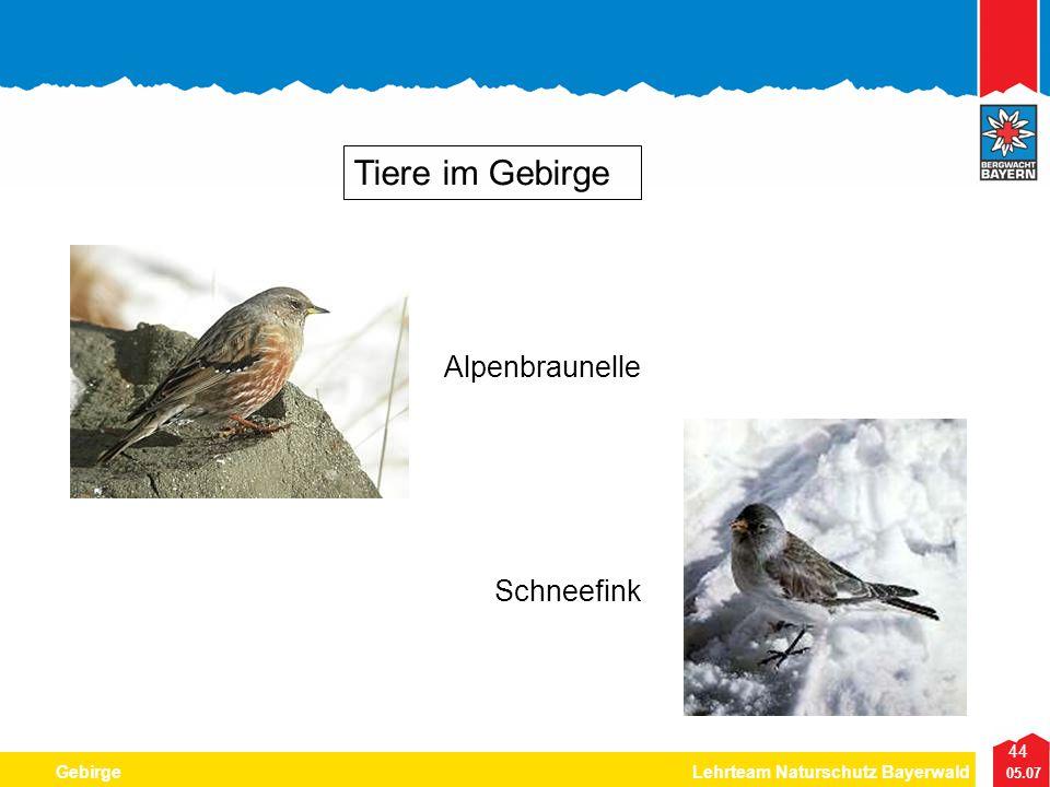44 05.07 GebirgeLehrteam Naturschutz Bayerwald Tiere im Gebirge Schneefink Alpenbraunelle