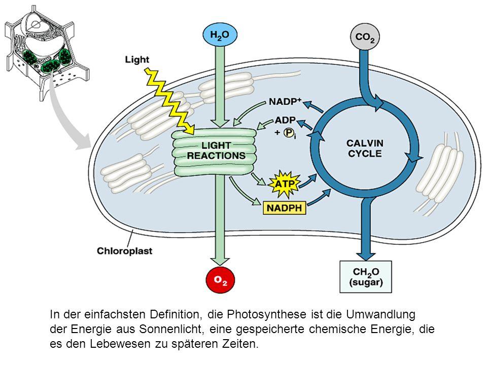In eukaryontischen Zellen, Photosynthese auftritt in den Chloroplasten, einer Organelle in pflanzlichen Zellen.