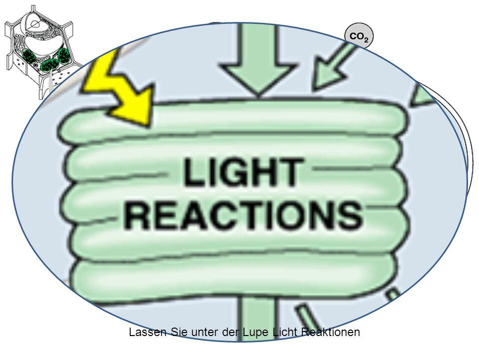 Zu Beginn der Lichtreaktion, oder Licht abhängigen Reaktion, Photonen von Licht absorbiert Chlorophyll Moleküle Die angeregten Elektronen bewegen sich die Elektronen Transportkette Die Bewegung von Elektronen durch den Transport von Elektronen Kette Kräfte Wasserstoff Ionen, auch als Protonen, über die Membran Diese baut eine Konzentration der Protonen.