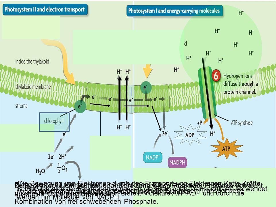 Am Ende der Reaktion Licht, wir haben beide ATP und NADPH.
