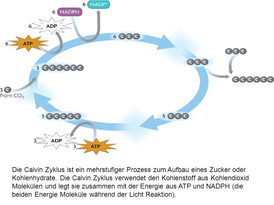 Die Calvin Zyklus ist ein mehrstufiger Prozess zum Aufbau eines Zucker oder Kohlenhydrate.