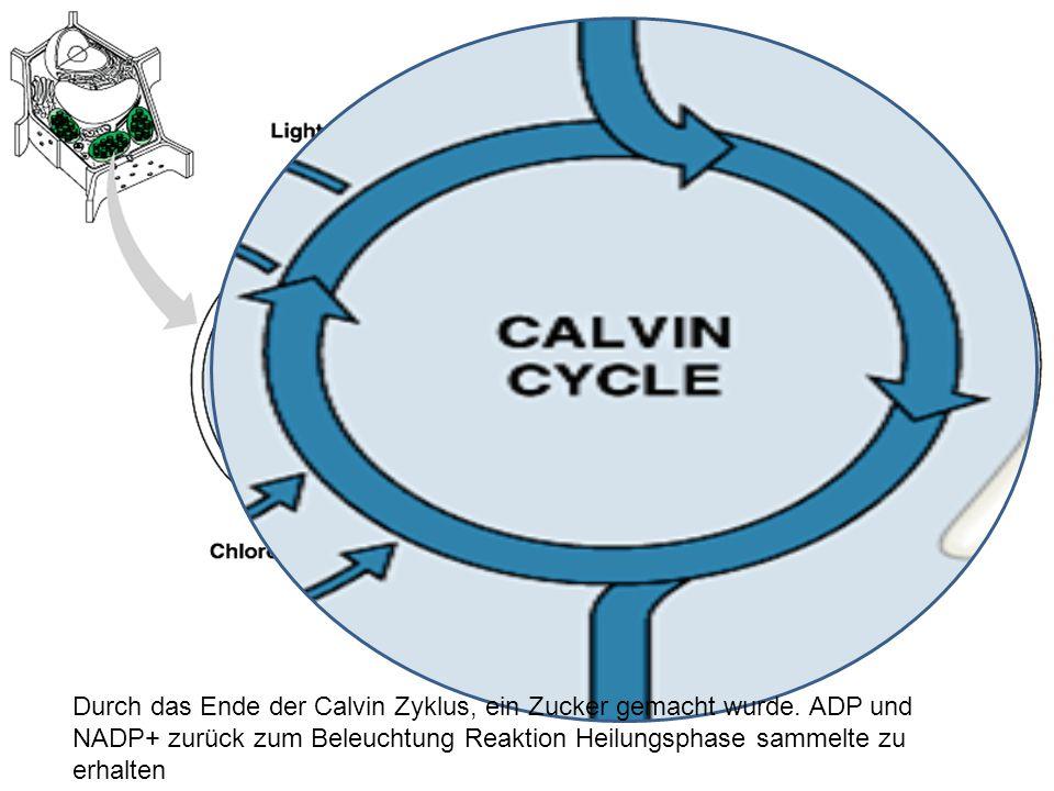 Durch das Ende der Calvin Zyklus, ein Zucker gemacht wurde.