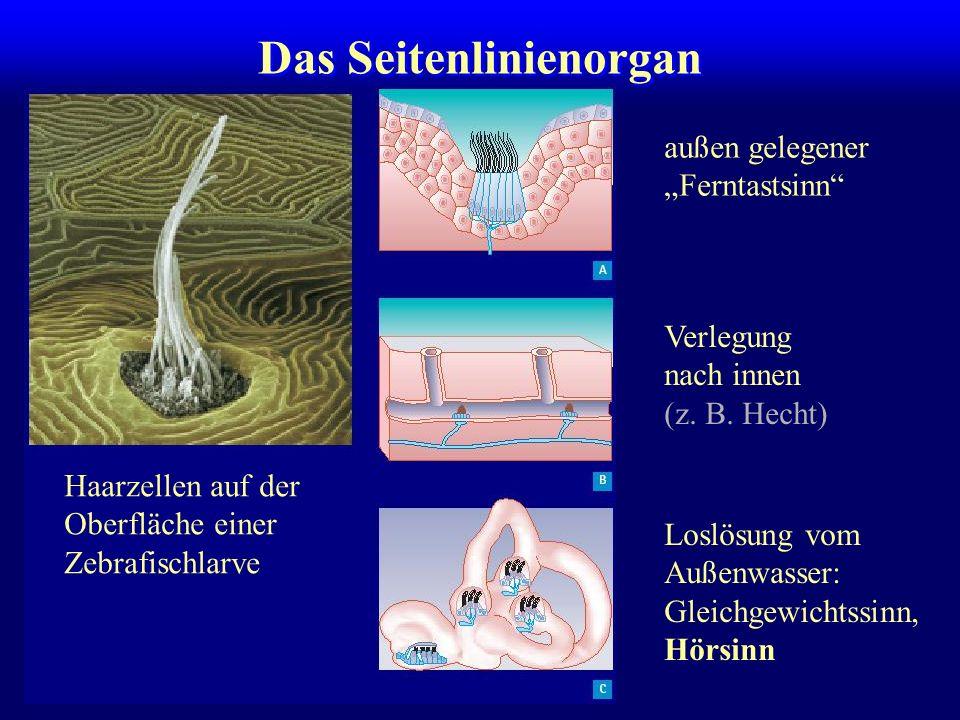 Das Seitenlinienorgan außen gelegener Ferntastsinn Verlegung nach innen (z.
