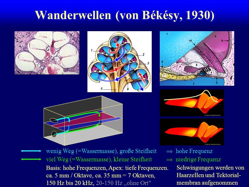 Wanderwellen (von Békésy, 1930) wenig Weg (=Wassermasse), große Steifheit viel Weg (=Wassermasse), kleine Steifheit Basis: hohe Frequenzen, Apex: tiefe Frequenzen.