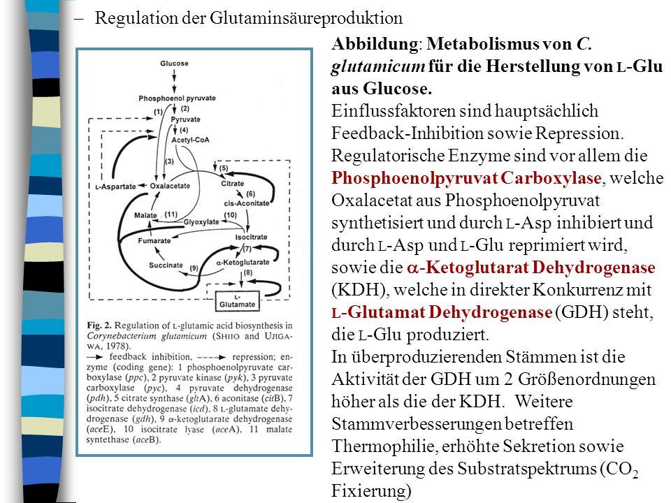 –Regulation der Glutaminsäureproduktion Abbildung: Metabolismus von C. glutamicum für die Herstellung von L -Glu aus Glucose. Einflussfaktoren sind ha