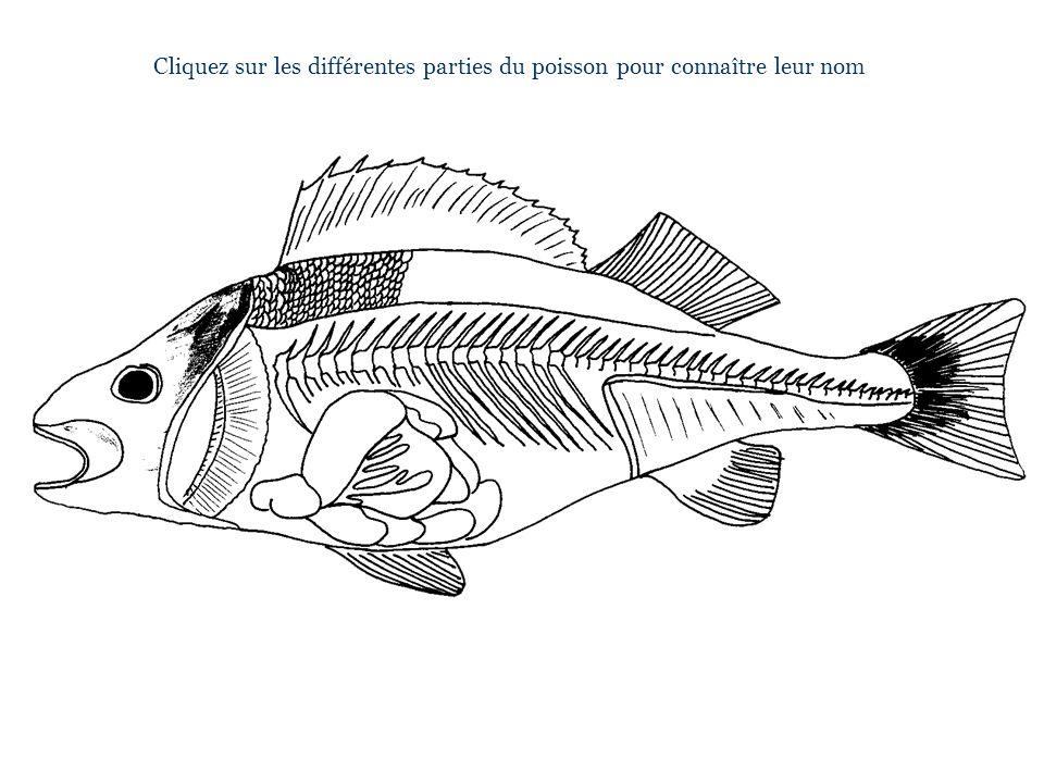 Cliquez sur les différentes parties du poisson pour connaître leur nom m