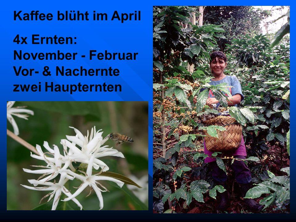 Kaffee blüht im April 4x Ernten: November - Februar Vor- & Nachernte zwei Haupternten