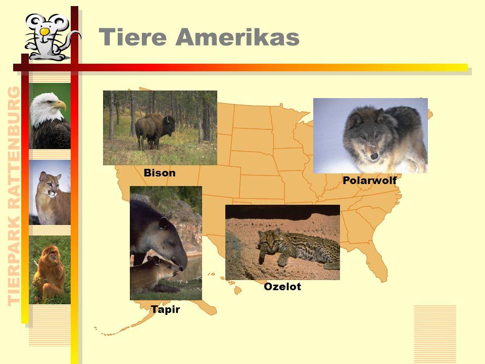 TIERPARK RATTENBURG Tiere Amerikas Bison Ozelot Polarwolf Tapir