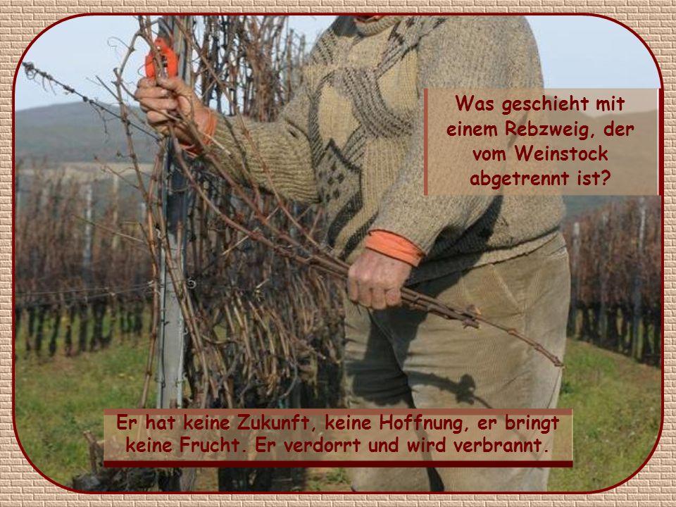 Was geschieht mit einem Rebzweig, der vom Weinstock abgetrennt ist.