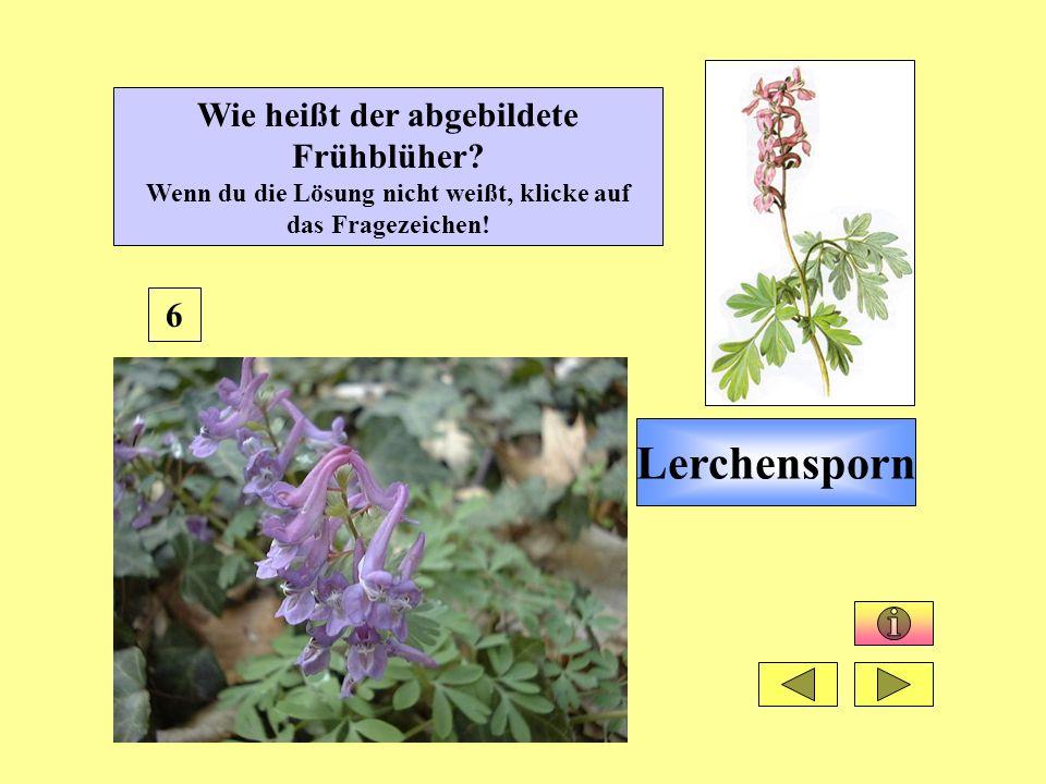 Lerchensporn 6 Wie heißt der abgebildete Frühblüher? Wenn du die Lösung nicht weißt, klicke auf das Fragezeichen!