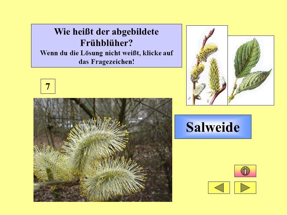 Salweide 7 Wie heißt der abgebildete Frühblüher? Wenn du die Lösung nicht weißt, klicke auf das Fragezeichen!