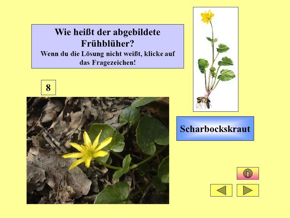 Scharbockskraut 8 Wie heißt der abgebildete Frühblüher? Wenn du die Lösung nicht weißt, klicke auf das Fragezeichen!