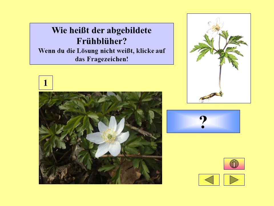 Wie heißt der abgebildete Frühblüher? Wenn du die Lösung nicht weißt, klicke auf das Fragezeichen! ? 1
