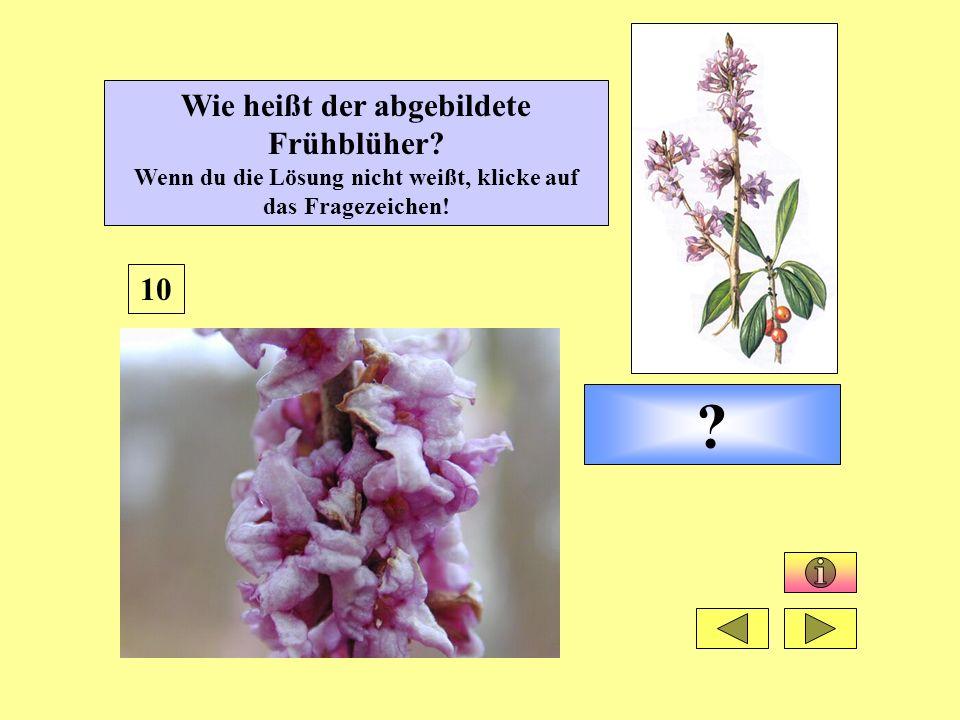 ? 10 Wie heißt der abgebildete Frühblüher? Wenn du die Lösung nicht weißt, klicke auf das Fragezeichen!