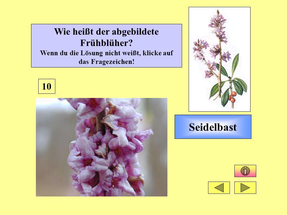 Seidelbast 10 Wie heißt der abgebildete Frühblüher? Wenn du die Lösung nicht weißt, klicke auf das Fragezeichen!