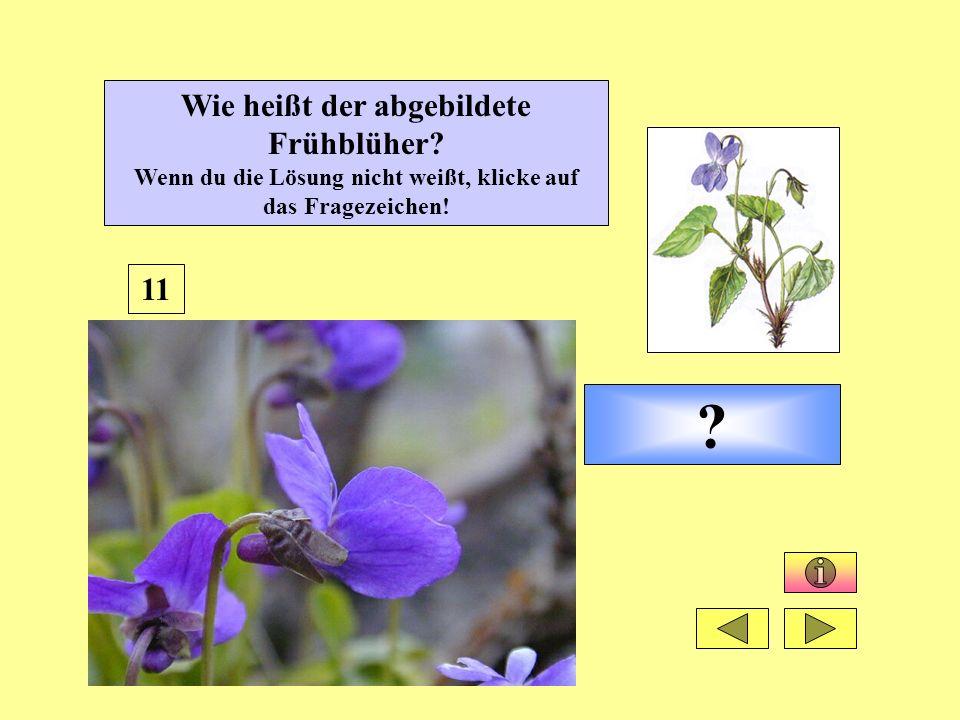 ? 11 Wie heißt der abgebildete Frühblüher? Wenn du die Lösung nicht weißt, klicke auf das Fragezeichen!