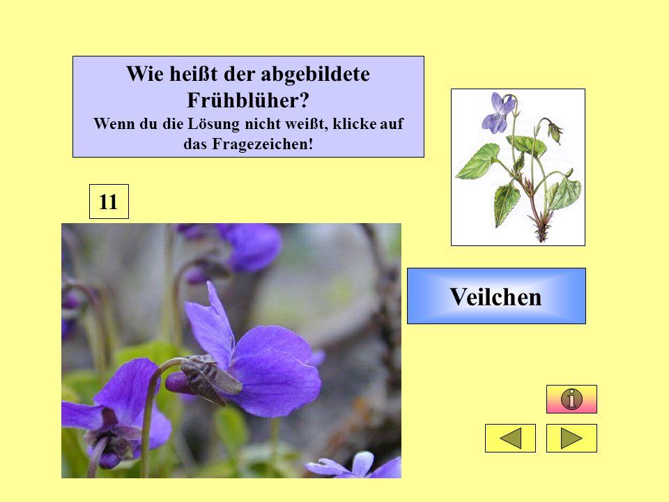 Veilchen 11 Wie heißt der abgebildete Frühblüher? Wenn du die Lösung nicht weißt, klicke auf das Fragezeichen!