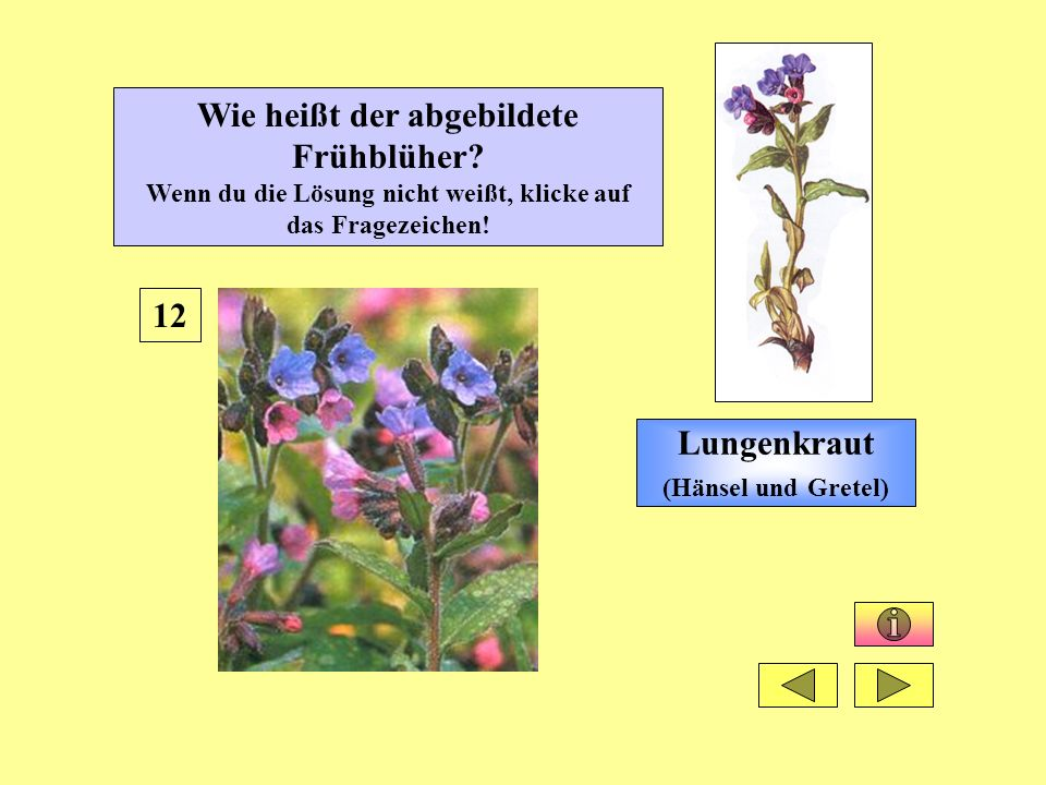 Lungenkraut (Hänsel und Gretel) 12 Wie heißt der abgebildete Frühblüher? Wenn du die Lösung nicht weißt, klicke auf das Fragezeichen!