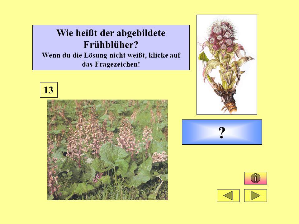 ? 13 Wie heißt der abgebildete Frühblüher? Wenn du die Lösung nicht weißt, klicke auf das Fragezeichen!