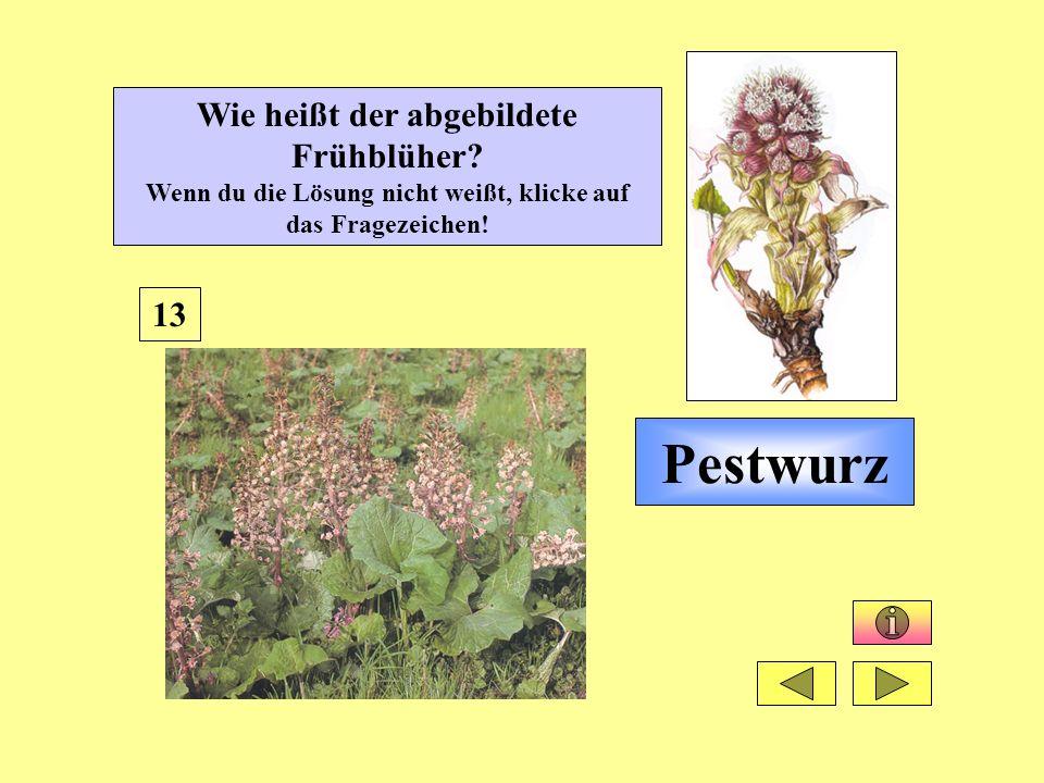 Pestwurz 13 Wie heißt der abgebildete Frühblüher? Wenn du die Lösung nicht weißt, klicke auf das Fragezeichen!