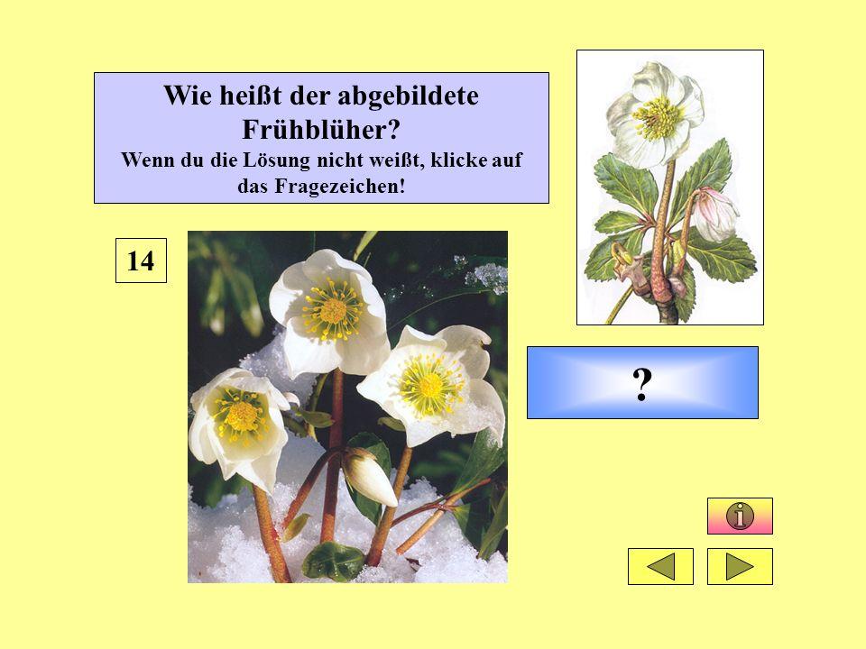 ? 14 Wie heißt der abgebildete Frühblüher? Wenn du die Lösung nicht weißt, klicke auf das Fragezeichen!
