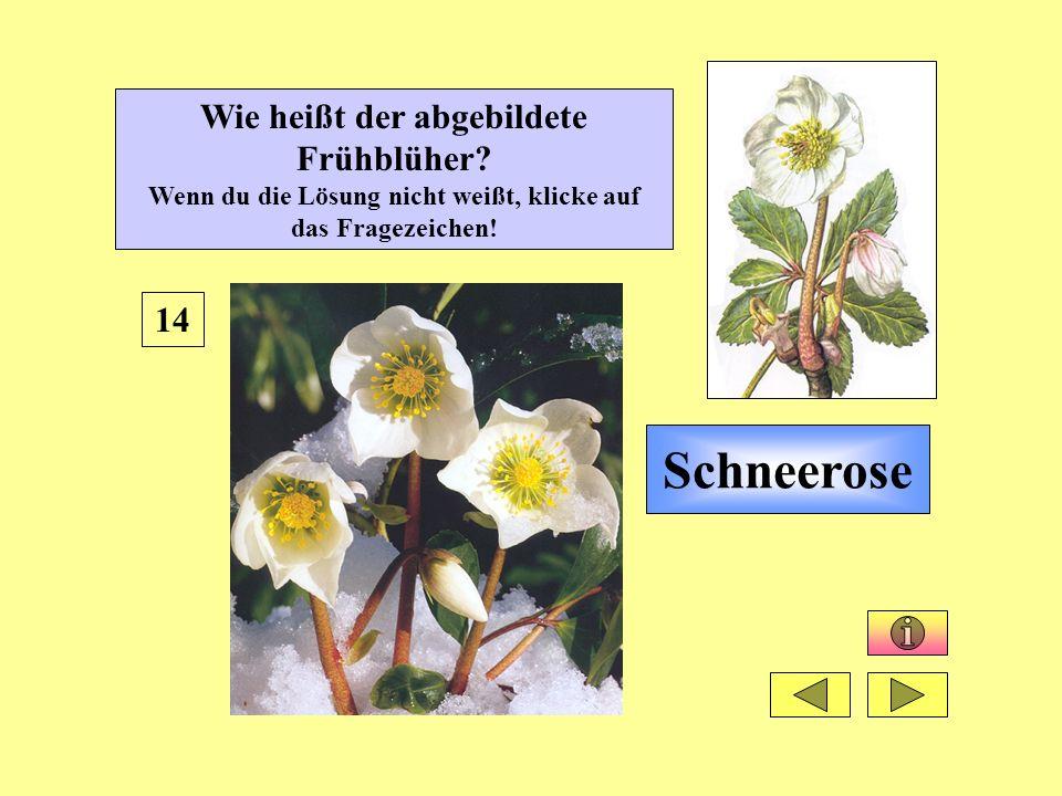 Schneerose 14 Wie heißt der abgebildete Frühblüher? Wenn du die Lösung nicht weißt, klicke auf das Fragezeichen!