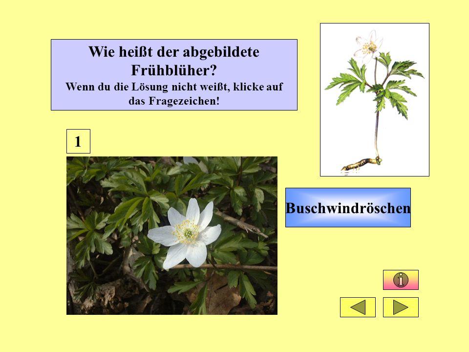 Wie heißt der abgebildete Frühblüher.Wenn du die Lösung nicht weißt, klicke auf das Fragezeichen.