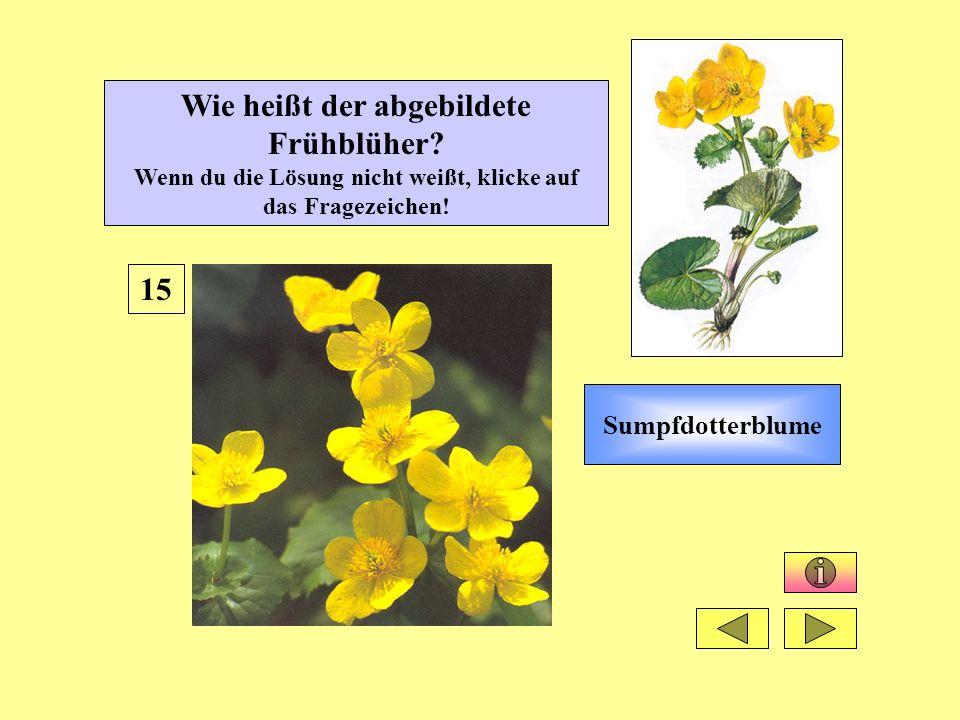 Sumpfdotterblume 15 Wie heißt der abgebildete Frühblüher? Wenn du die Lösung nicht weißt, klicke auf das Fragezeichen!