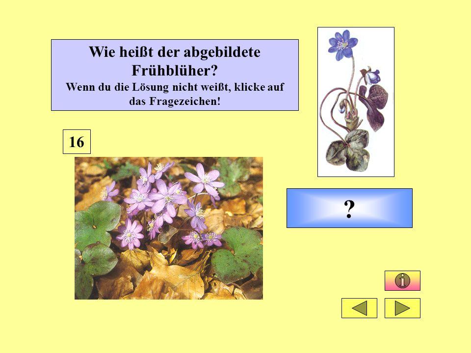 ? 16 Wie heißt der abgebildete Frühblüher? Wenn du die Lösung nicht weißt, klicke auf das Fragezeichen!