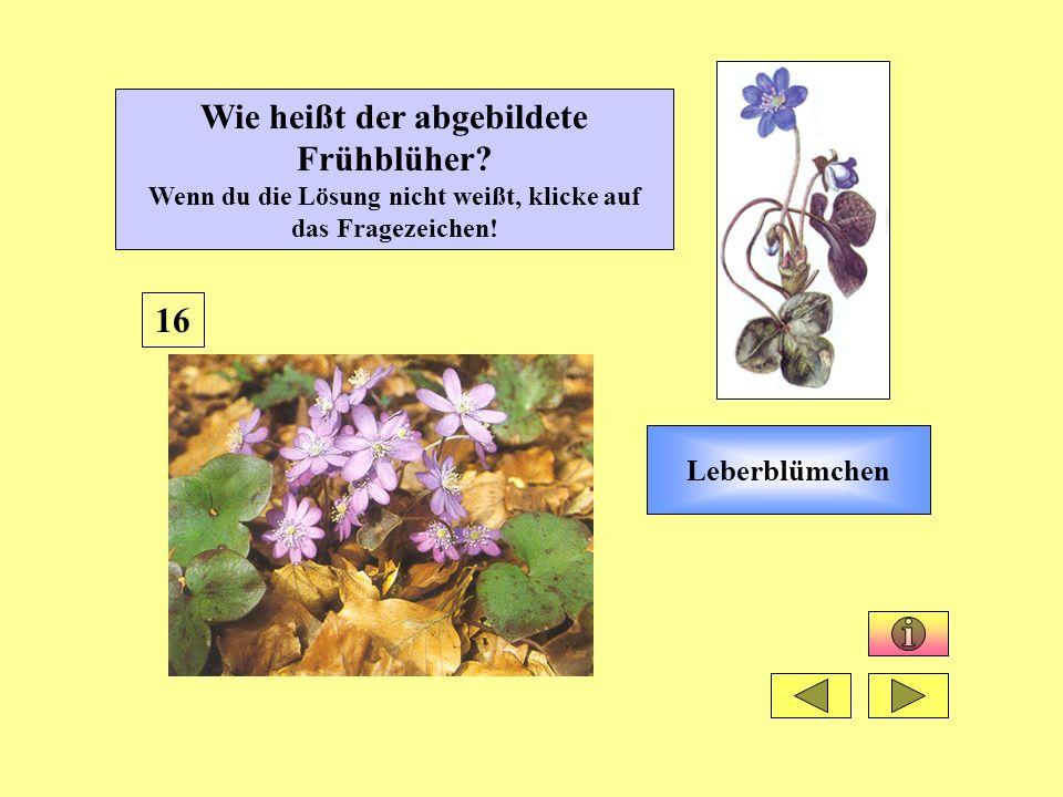Leberblümchen 16 Wie heißt der abgebildete Frühblüher? Wenn du die Lösung nicht weißt, klicke auf das Fragezeichen!